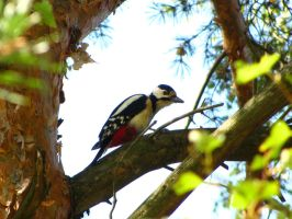 Woodpecker by DeingeL