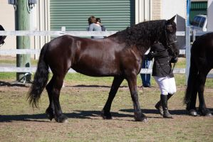 STOCK - Canungra Show 2012 203 by fillyrox
