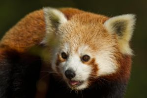 Red Panda by mansaards