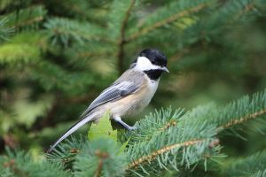 Chickadee by benny007