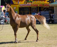 STOCK Canungra Show 2013-70 by fillyrox