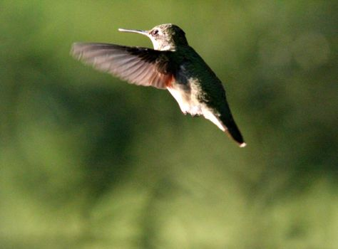 Female hummingbird in flight 8-25-15 by Part-Time-Cowboy