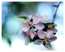 Apple Blossom II by hazydream