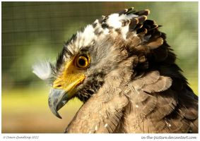 Fluffy Crested Serpent Eagle by In-the-picture