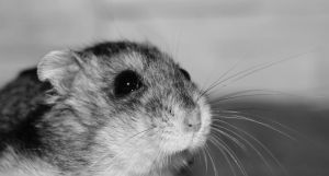 Hamster by Pam-Adrie