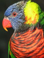 Lorikeet close-up by thiselectricheart