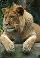 Young Lion by Elfster