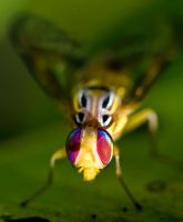 Wasp Mimic Hoverfly 1 by otas32