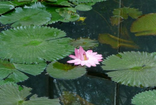 Water Lily by shenhai