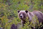 Grizzly Bear by juniberries