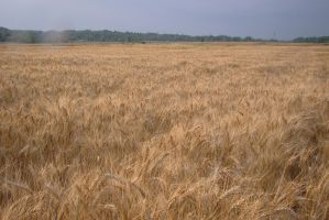 Wheat field 2 by Panopticon-Stock