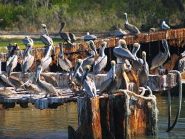 A Tangle of Pelicans by davincipoppalag