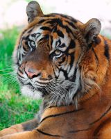 Tiger Portrait by robbobert