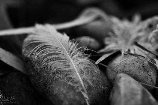 feather by VickiH