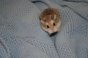 Hamster *-* by Canchupotterica