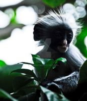 Colobus monkey by Aunt65