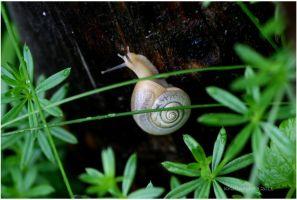 a small white snail by Kristinaphoto
