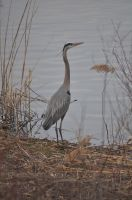 Great Blue Heron by tomegatherion