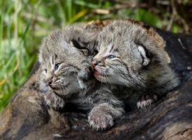 Bobcat Kittens II by White-Voodoo