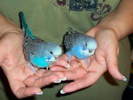 Budgies 2007-03-10 by MikeHungerford