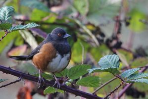 Rusty Towhee by finhead4ever
