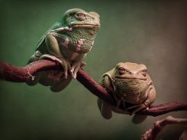 2 of the Waxy Monkey frogs by ktalbot