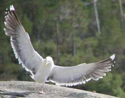 Seagull 7 by Chance-STOCK