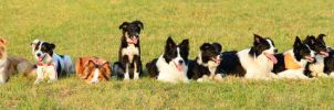 16 Border Collie by Vikarus