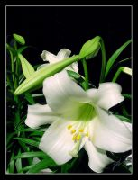 White Lilly by SiKWeB