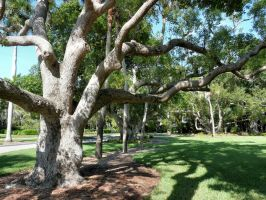 Ringling Museum Tree by jelbo