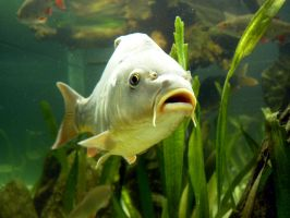 Stock Photo: fish by elisafox-stock
