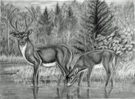 Deer Study by RandyAinsworth