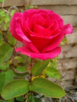 Rose by Clangston