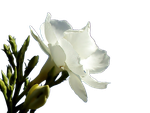 PNG Oleander by KmyGraphic