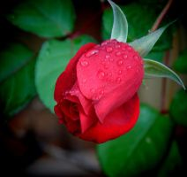 December Rose 12-6-11 by Tailgun2009