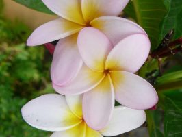 Frangipani 3 by Confussed-Stock