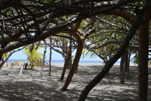 Carbet beach and red mangrove by A1Z2E3R