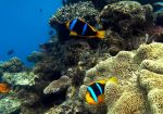 Clown fish by ozplasmic