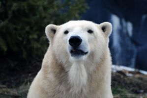 Polar Bear 1 by 8TwilightAngel8