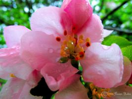 Apple Blossom 2 by Nomalimae