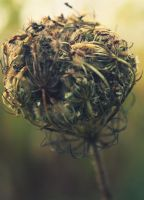 Queen Anne's Lace Seeds by druideye