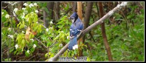 Blue Jay by PrimalOrB