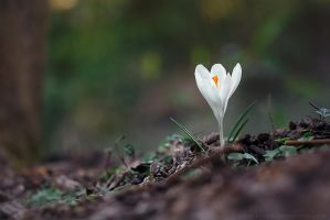 white crocus by cloe-patra