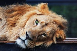 Lion by Joe-Lynn-Design