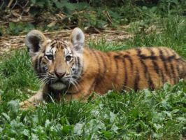 2014 - Tiger cub 77 by Lena-Panthera