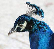 Indian Peafowl by flowerhippie22