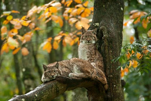 Autumnal linx cubs... by Seb-Photos