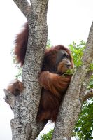 Orangutan by secondclaw