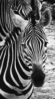 Zebra by fluffylink