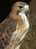 Red-Tailed Hawk 2 by 0Iluvater0